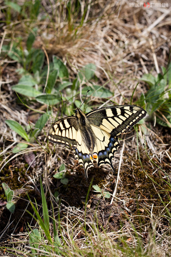 Old World Swallowtail Poland