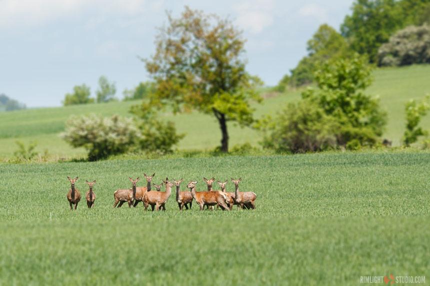 Stado jeleni u podnóża Czartowskiej Skały