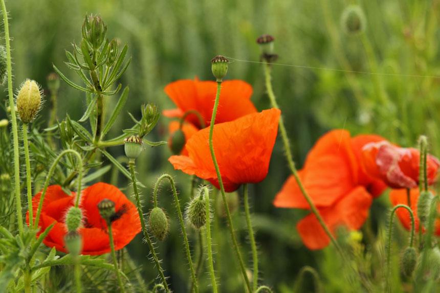 Mohnblumen auf unseren Feldern