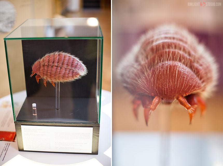 Dactylopius polonica - польская кошениль