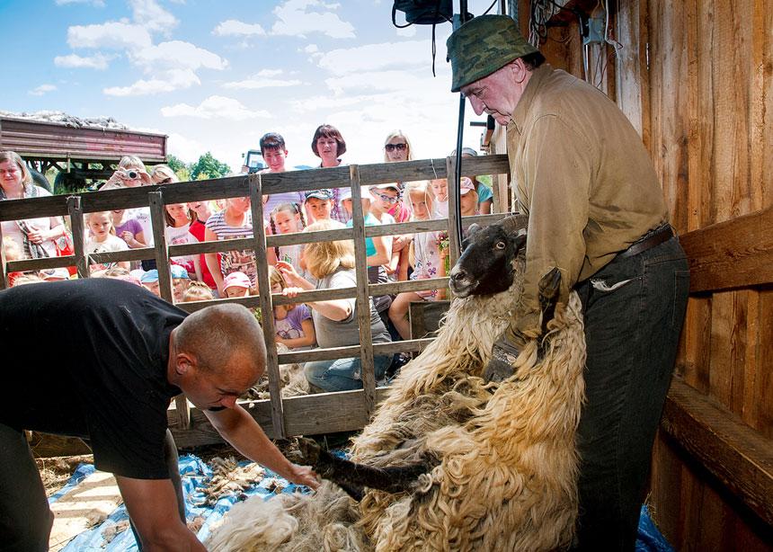 Warsztaty strzyżenia owiec